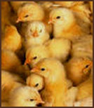 Lots of Chicks